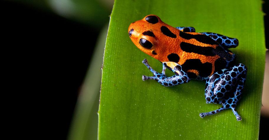 Frosch Peru Amazonas