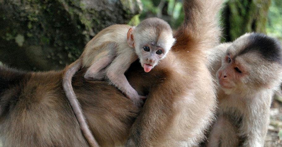 Tier Abenteuer Affen Kapuziner Argentinien Empfehlung Nationalparks