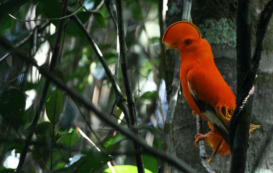 coq de roche orange Französisch Guyana