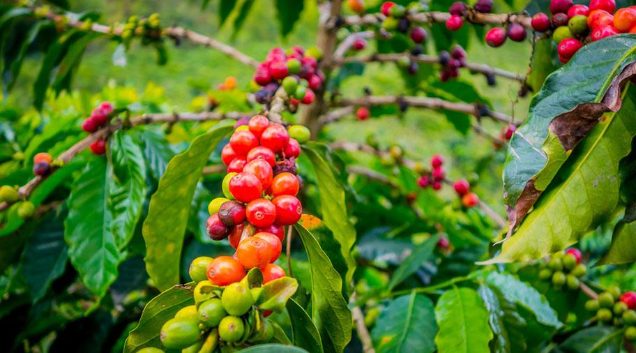 Kaffee Sorten Kolumbien rote Früchte