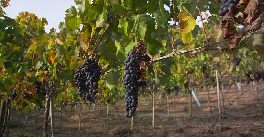 Chile Weintrauben Wein Ferien Reisebüro Schweiz
